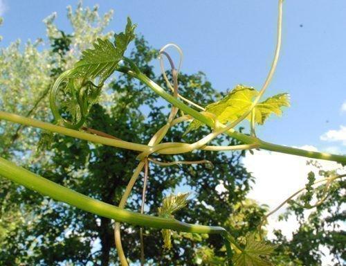 Зеленое подвязывание винограда