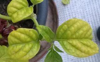 Как избежать желтизны и опадания листьев на рассаде перца