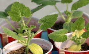 Ошибки выращивания огурцов: желтеют и сохнут листья у рассады