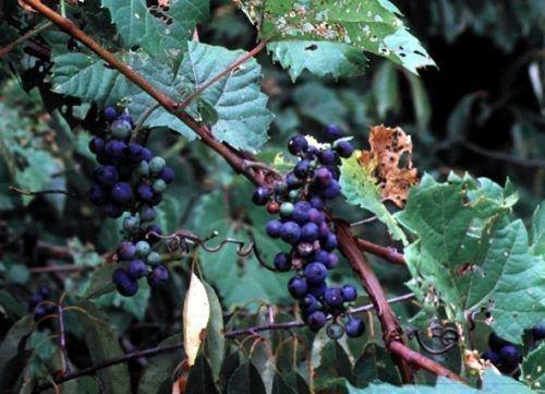 Американский дикий виноград