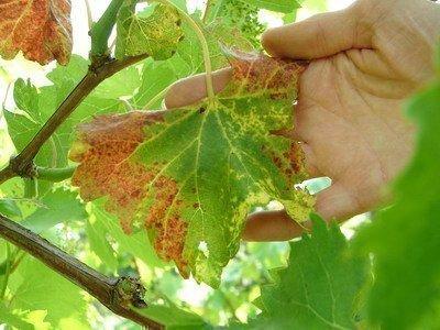 Апоплексия винограда