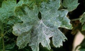 Белый налет на листьях винограда, как бороться