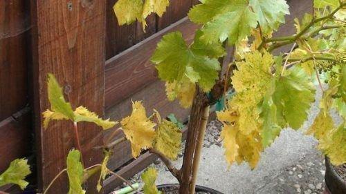 Бледные листья винограда
