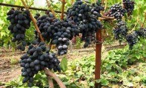 Черный виноград Кишмиш