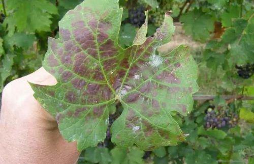 Дефицит калия в винограде