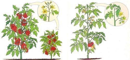 Детерминантный и индетерминантный помидор