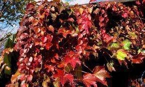 Девичий виноград: описание и уход