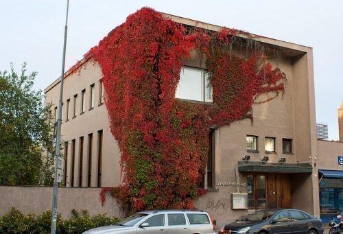 Девичий виноград на здании