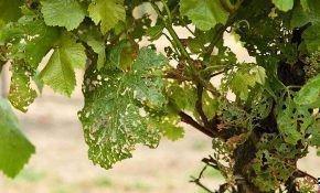 Основные вредители винограда. Кто есть листья винограда?