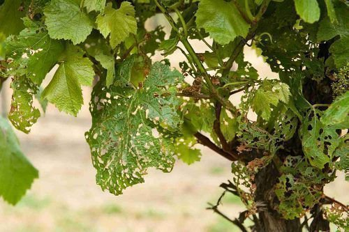 Дырки на листьях винограда