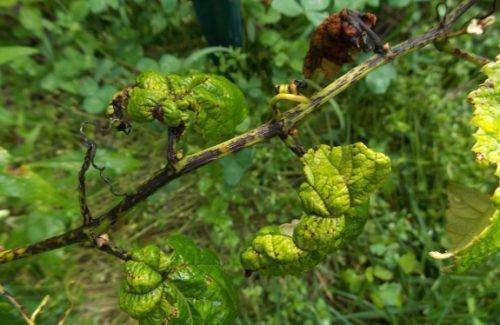 Фомопсис винограда