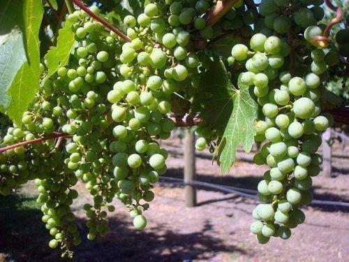 Формирование грозди винограда