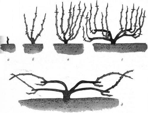 Формирование винограда веером