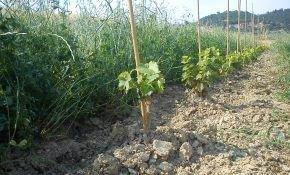 Уход за посадочным материал: где на участке лучше посадить виноград