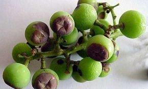 Почему гниют ягоды винограда? Меры борьбы