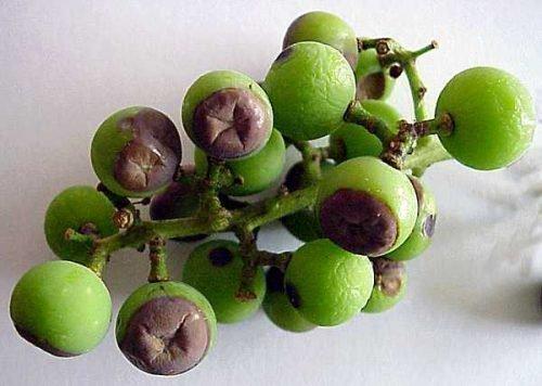 Гниют ягоды винограда