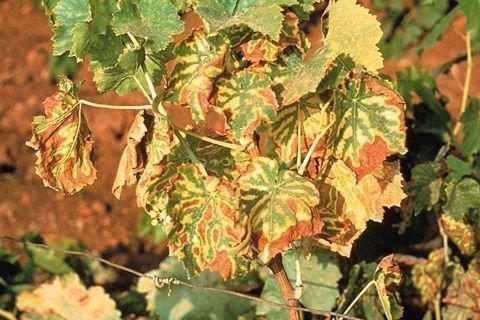 Инфекционное усыхание винограда