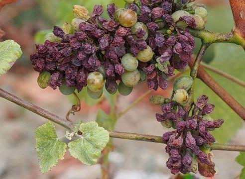 Кислотная гниль винограда