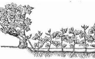 Клюква и брусника — отличия, что полезнее, как выглядят ягоды