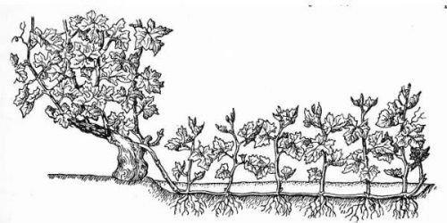 Китайский метод размножения винограда