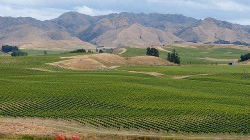 Крупный виноградник