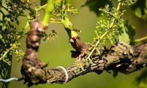 Виноградная лоза: строение, вегетация и уход