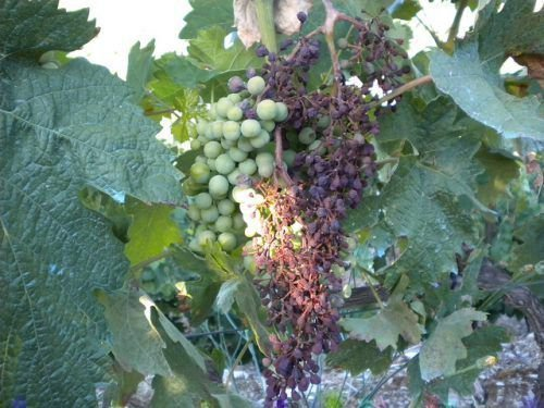 Милдью винограда