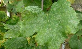 Мучнистая роса (оидиум) на винограде: как бороться