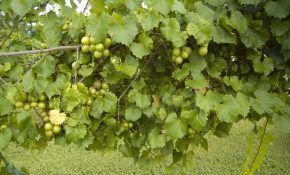 Какой мускатный сорт столового винограда самый лучший?