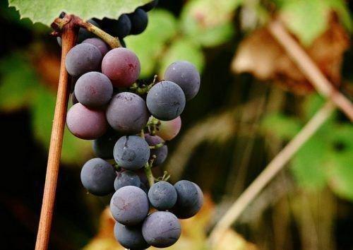 Некачественный виноград