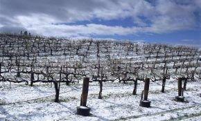 Виды винограда, которые не нужно укрывать на зиму