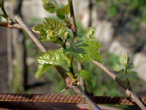 Обломка винограда