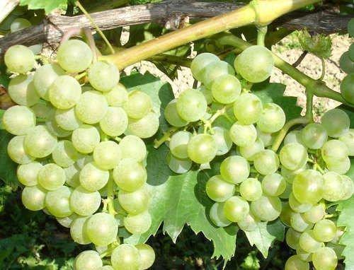 Обрезка винограда Бианка