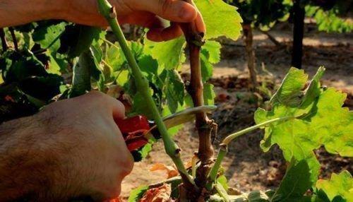 Обрезка винограда в Сибири