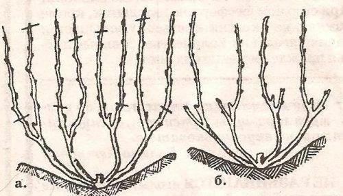 Обрезка запущенного винограда