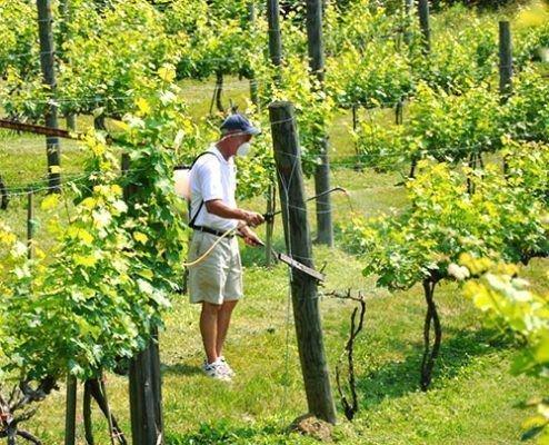 Опрыскивание винограда фунгицидами