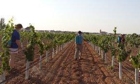 Болезни и вредители: как защитить виноград