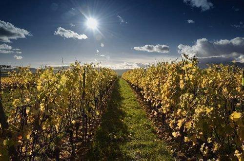 Осенний полив винограда