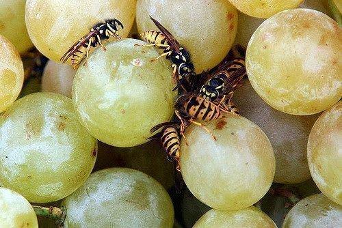 Осы на винограде Бианка