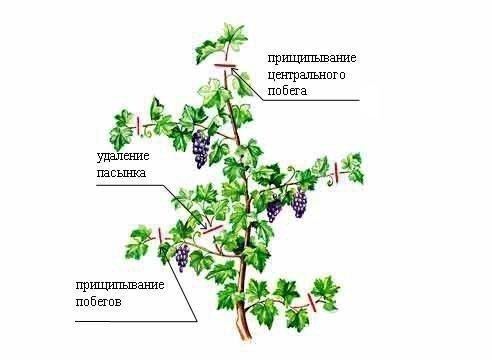 Удаление пасынков винограда