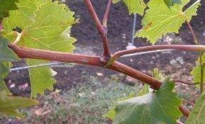 Виноградные пасынки, правильное удаление