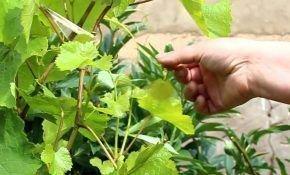 Виноград: причины и правила пасынкования