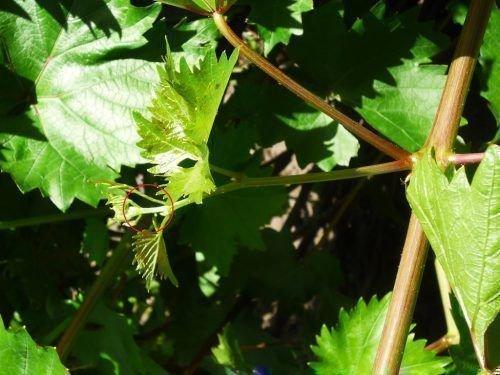 Пасынок винограда
