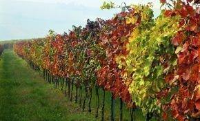 Как проходит обработка винограда осенью перед укрытием?