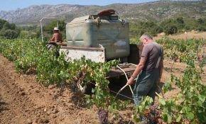 Правила полива винограда для активного роста и обильного урожая