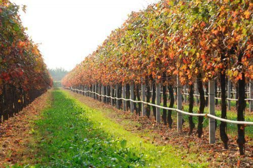 Полив винограда осенью
