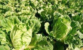 Специфика выращивания пекинской капусты: методы посадки в открытый грунт