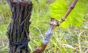 Успешные весенние прививки винограда – общие правила