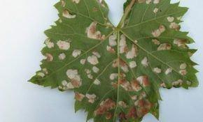 Пятна на листьях виноградного куста