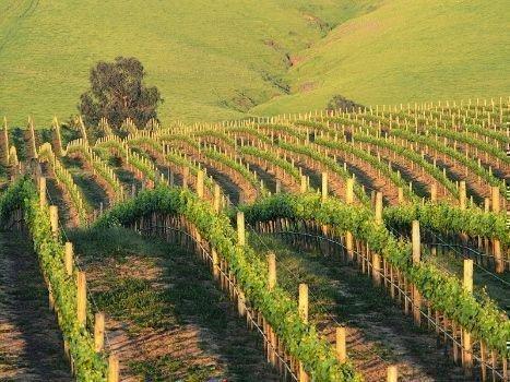 Расположение виноградника на склоне
